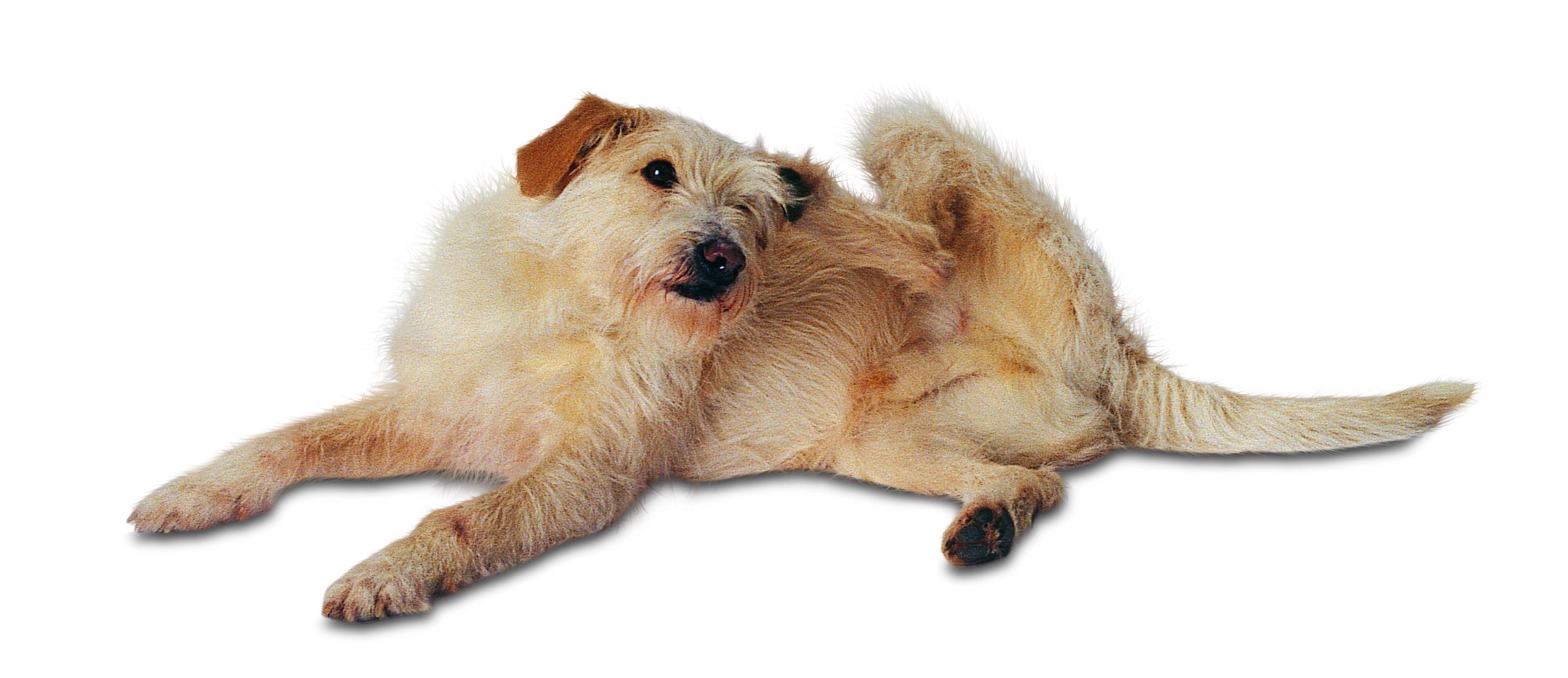 Sådan undgår du lopper og flåter på din hund eller kat